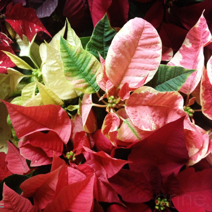 Poinsettias on display 001-001