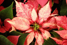 Poinsettias on Display