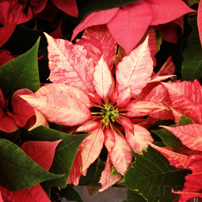 Poinsettias on display 006-001