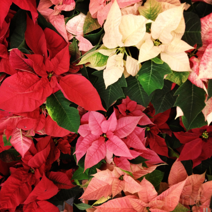 Poinsettias on display 007-001